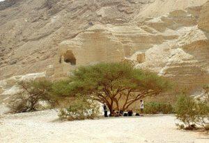 Дерево Ситтим (семейство Акация)