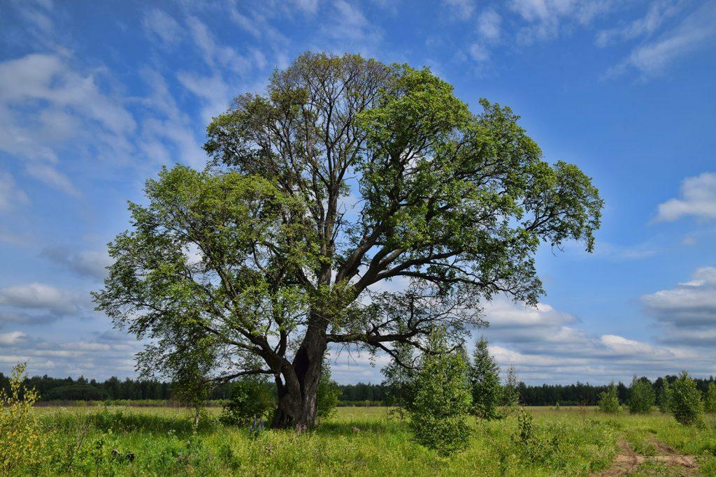 Дерево Вяз (Ильм, Карагач)